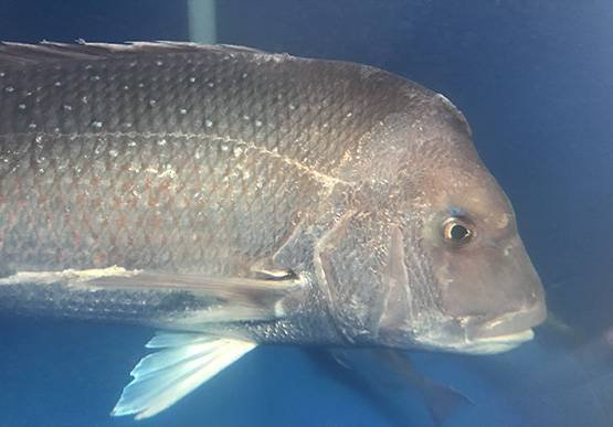 BIG SNAPPER: One of the large adult snapper used in breeding program at the South Australian Research and Development Institute's West Beach facility. Photo: PIRSA