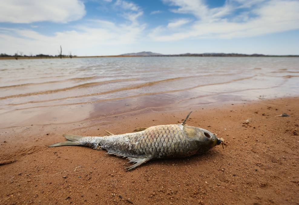 One dead carp near the Bowna Arm boat ramp on Tuesday. Picture: KYLIE ESLER
